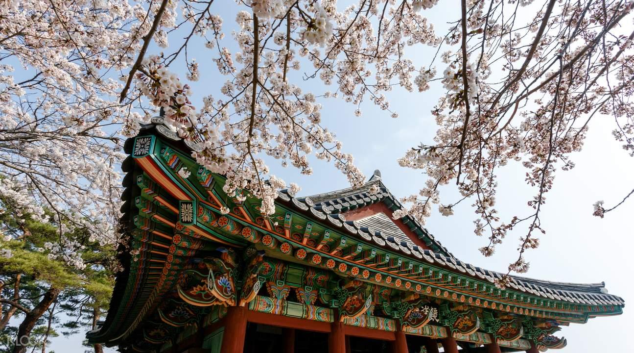 Cherry Blossoms Festival Korea